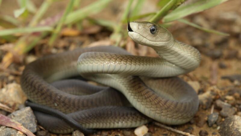 De 16 ani, acest barbat se lasa muscat de cei mai veninosi serpi din lume. Motivul emotionant pentru care face asta