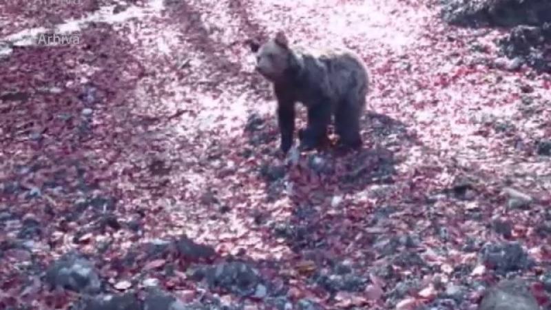 Alerta la Busteni, dupa ce un urs a fost lovit de o masina si a fugit in padure. Avertismentul dat pentru turisti