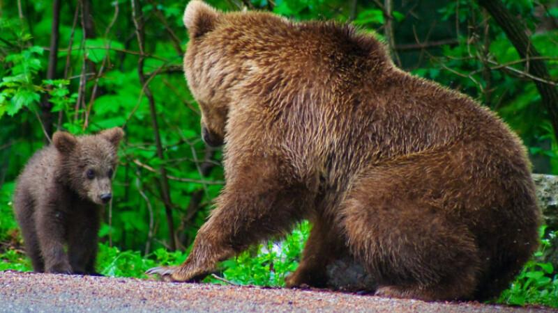 Actiunea de prindere a ursilor devine din ce in ce mai grea!