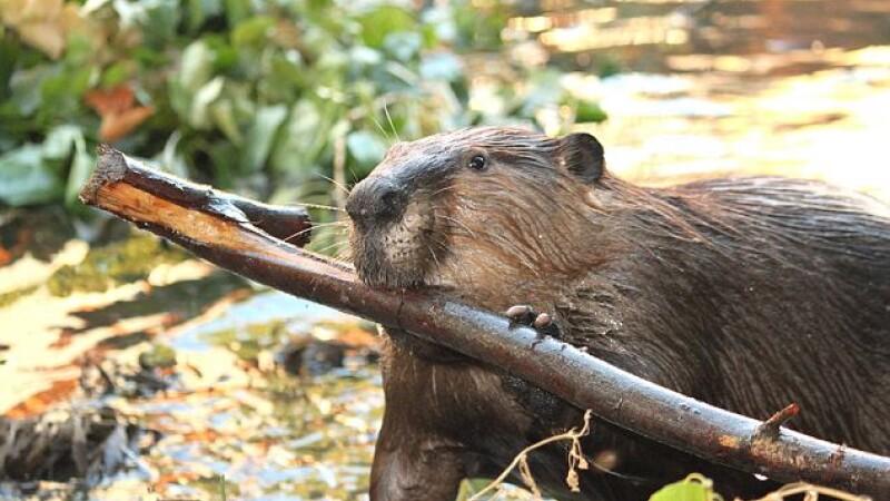 Imagini emotionante: castorul care are singur grija de pui, dupa moartea partenerei. VIDEO