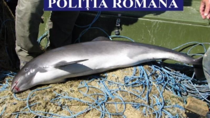 Trei pui de delfin si aproape 60 de sturioni, salvati de comisarii Garzii de mediu. Doi tineri din Tulcea, prinsi la braconaj