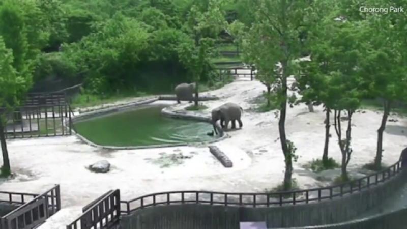 Moment emotionant surprins la o gradina zoologica din Coreea de Sud, dupa ce un pui de elefant a fost salvat de la inec.VIDEO