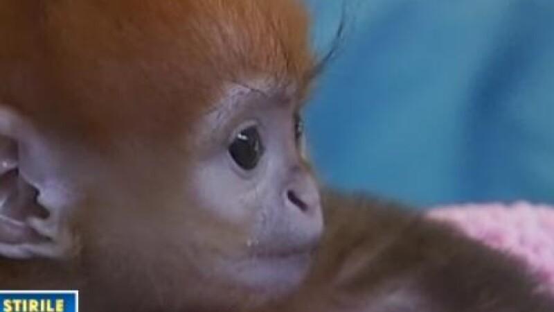 Micuta Elka, vedeta gradinii zoologice din Sydney!