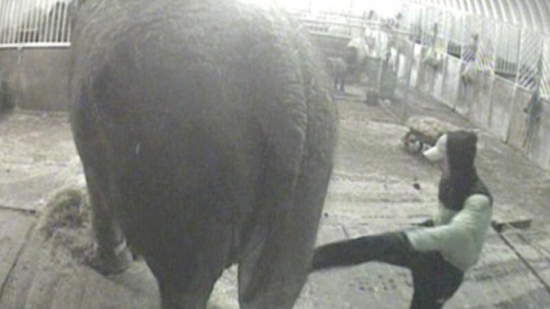 VIDEO SOCANT. Elefant al circului din Londra, batut cu cruzime de un roman