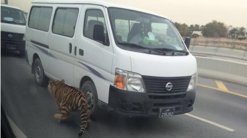 Un tigru a fost filmat plimbandu-se printre masini in plina zi, in capitala Qatar-ului. FOTO si VIDEO