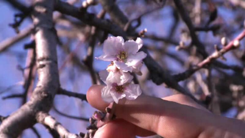 Parcurile au fost pline, dupa ce primavara a revenit in forta. Orasul unde autoritatile au plantat ciresi japonezi