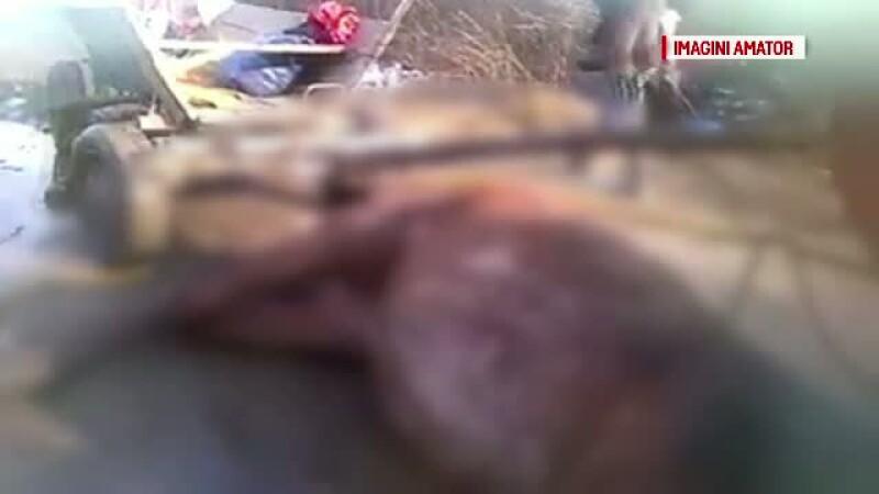 Imagini revoltatoare la marginea orasului Baia Mare. Un cal, inhamat la o caruta, a murit de extenuare pe drum