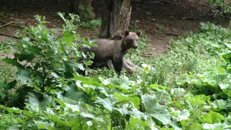Un barbat din Azuga a fost muscat de urs, in timp ce facea jogging in padurea de langa