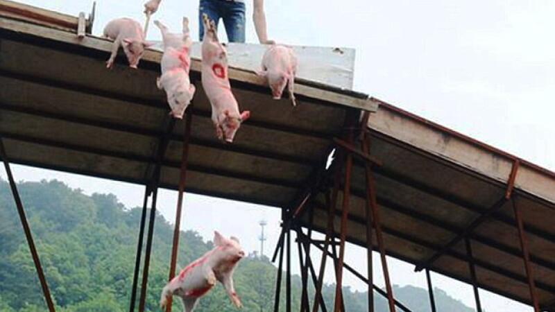 Competitie de inot pentru porci, in China. Obiceiul care imparte turistii in doua tabere, dar sustinut de autoritati