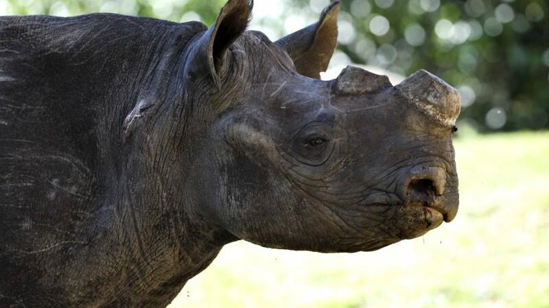 Doi barbati, prinsi in timp ce transportau 31 de coarne de rinocer. In 2014, au fost ucise 1.215 de exemplare
