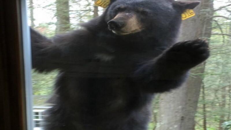 Aparitia unui urs la geamul sau a ingrozit-o pe o americanca, care si-a alertat vecinii. Ce isi dorea ursul sa obtina