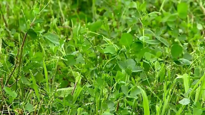 Lucerna, mult mai profitabila decat porumbul, graul sau rapita. Profitul agricultorilor care au optat pentru iarba verde