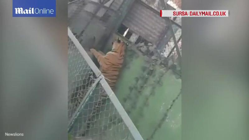 Un tigru a scapat din cusca la un zoo din India. Gestul facut de un turist a infuriat animalul