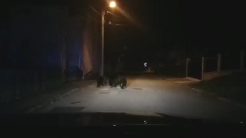 VIDEO. Ursoaică cu doi pui alungată de pe străzile din Bușteni de către jandarmi, cu girofarul