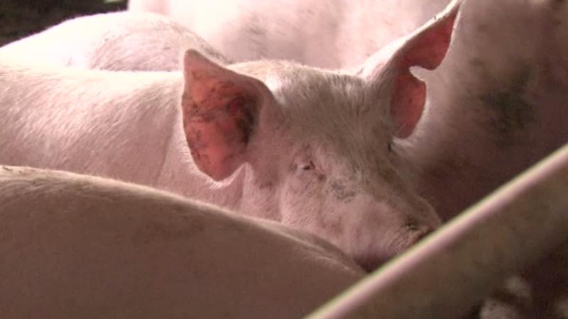 OMS cere eliminarea antibioticelor din fermele de animale. Unele infecții nu mai au tratament