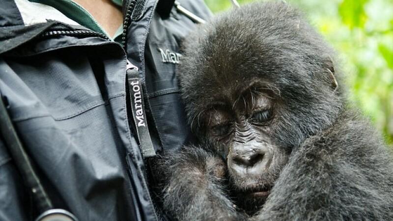 O gorila are nevoie de compasiune dupa ce mama ei a fost ucisa de braconieri. Gestul emotionant facut de un padurar
