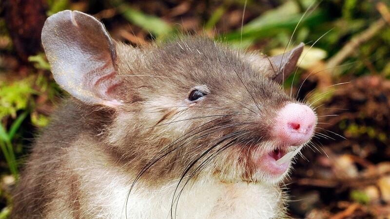 Oamenii de stiinta au descoperit o noua specie de mamifer.