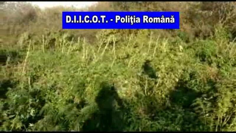 """Cele mai mari culturi de canabis din România, """"de ordinul câtorva tone"""". VIDEO din dronă"""