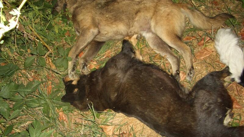Cadavre de caini gasite pe un bulevard din Targoviste