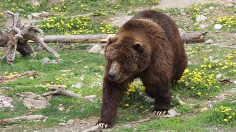 Ursi morti prin sufocare ori de foame in laturile satenilor din Arges!