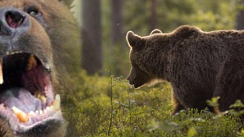 Ursul care a ATACAT doi padurari era turbat. Ce masuri iau autoritatile pentru a proteja animalele