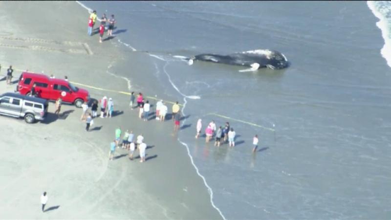 O balena uriasa a esuat pe o plaja din New Jersey. Ce au descoperit medicii la necropsie
