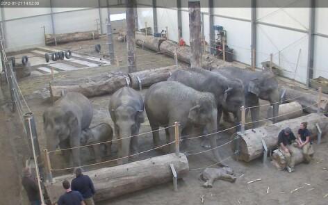 pui de elefant mort
