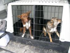 `Fost maidanez, devin legal`. Campania prin care doua asociatii sterilizeaza cainii gratuit