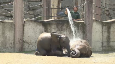 Canicula afecteaza animalele de la Gradina Zoologica din Viena. Elefantii primesc dusuri reci ca sa reziste