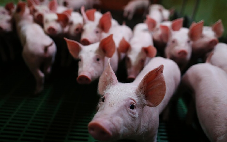slăbirea porcului tras t7 fat burner review