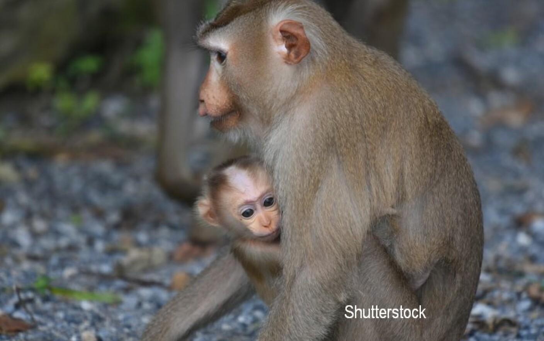 maimuță de slăbit