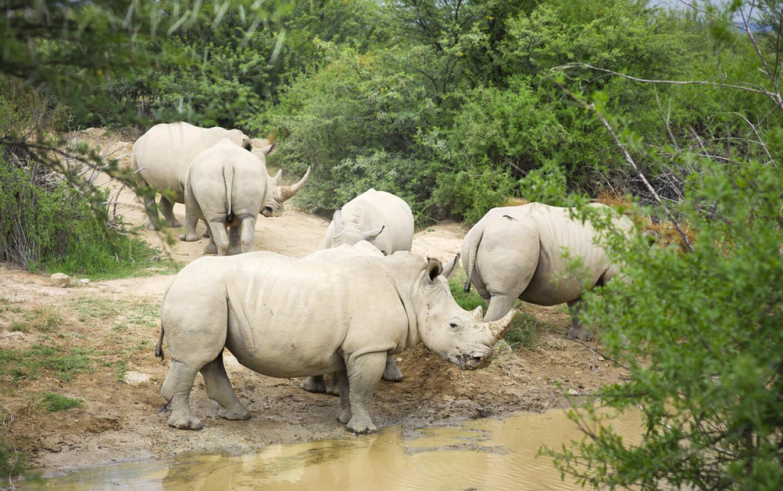 Фото стадо носорогов