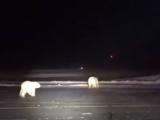 Urs polar, Alaska