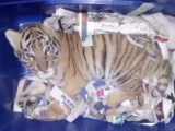 colet tigru