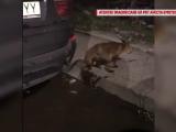 Vulpe prinsă pe un bulevard din Bucureşti. Mami, avem un căţel nou