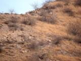 Găsește leopardul! Camuflajul perfect într-o fotografie surprinsă pe un deal