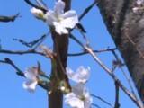 Fenomen rar în Japonia. Florile de cireș au înflorit în mijlocul lunii octombrie