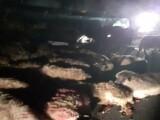 """""""Carnagiu"""" pe o șosea din Timișoara. O mașină a izbit în plin o turmă de oi"""