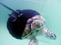 Inotatoare noi pentru o testoasa care a scapat din coltii rechinilor