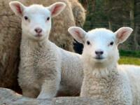Mieii de Paste vor fi extrem de mici si foarte scumpi