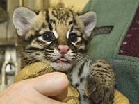 Hot sa fii, noroc sa ai! Au furat din greseala o pisica-leopard de 270.000€