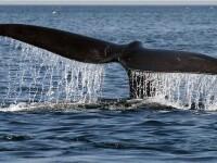 Spectacol de zile mari: o balena cu cocoasa i-a incantat pe turisti! VIDEO