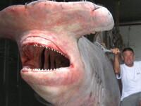 Rechin monstru capturat in Australia. Peste o tona!