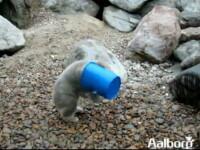 Ursuletul cu galeata la cap. Uite cum se lupta sa o doboare. VIDEO