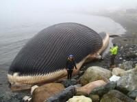 UPDATE. Balena aflata in descompunere pe o plaja canadiana nu va exploda