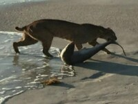 Imagini incredibile filmate in SUA. Un ras a reusit sa prinda un rechin: ce s-a intamplat in secundele urmatoare. VIDEO