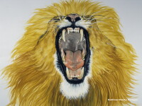 Si-a riscat viata pentru o imagine. Un fotograf a stat fata in fata cu un leu furios, reusind o captura aproape unica