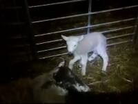 Un miel nascut la o ferma din Tara Galilor a ajuns vedeta pe internet.