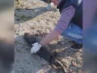 Un pui de delfin a fost gasit mort, pe plaja din Costinesti. Este al doilea caz de esuare din acest an