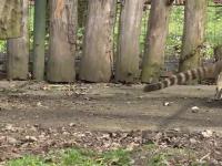 Doi urși coati de la grădina zoologică din Târgu Mureș, în centrul atenției în acest weekend